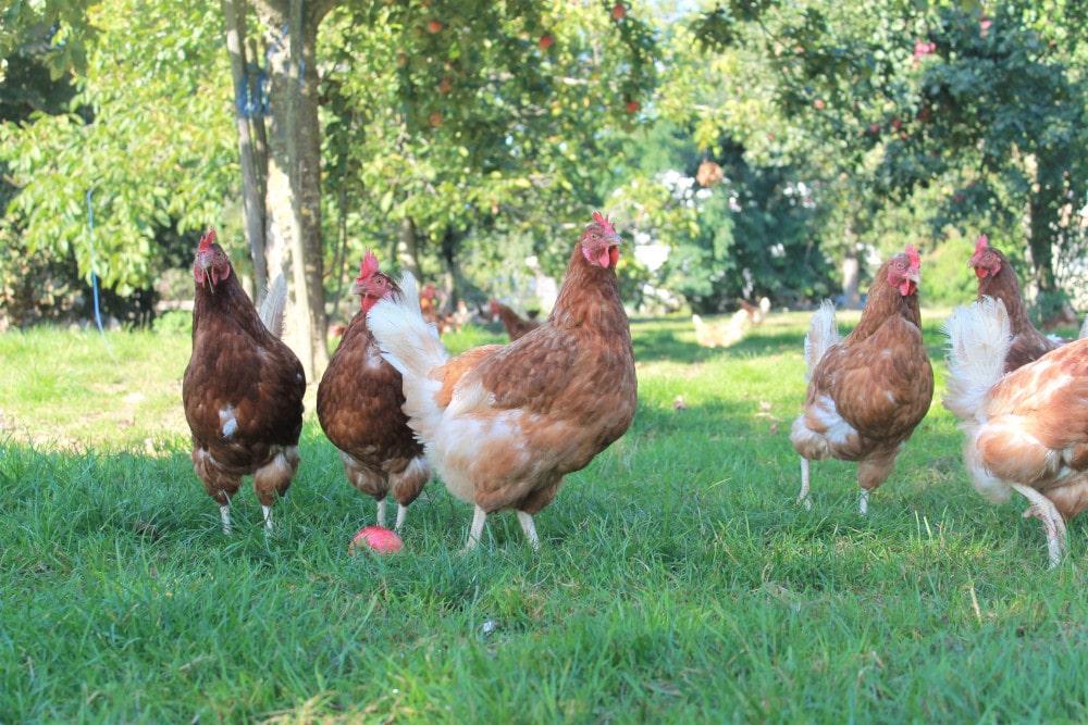 Hühnerhaltung Landwirtschaft