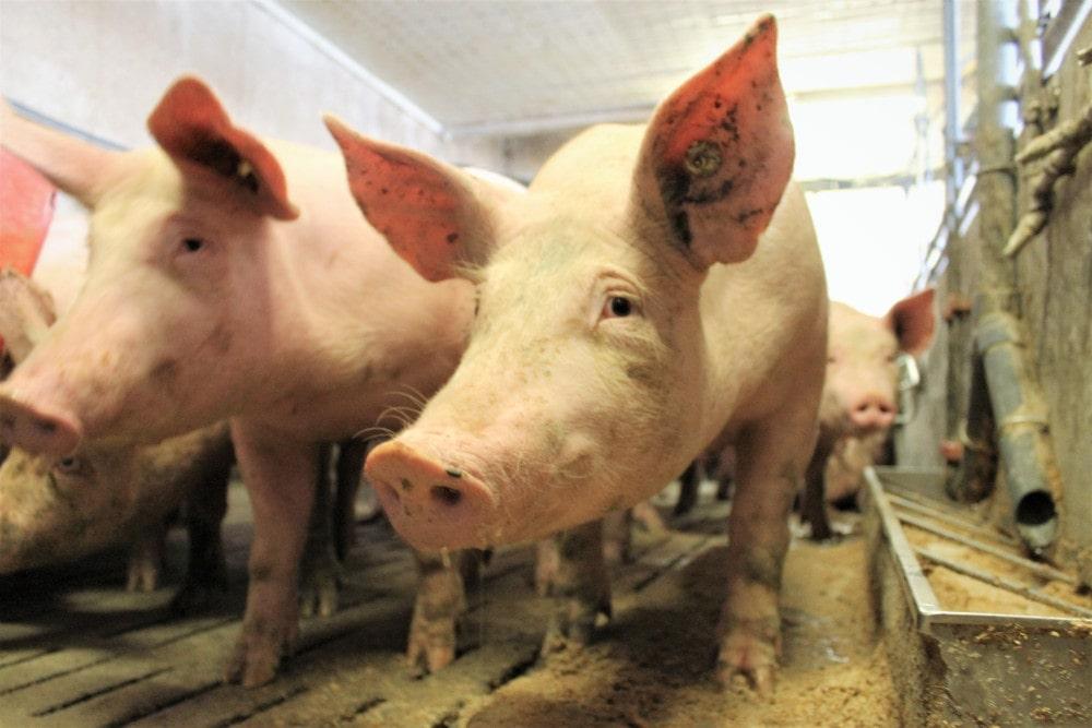 Schweinehaltung Landwirtschaft